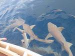 Schwarzspitzenriffhaie in den Malediven