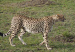 Gepard in Kenias Nationalparks