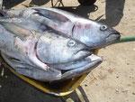Thunfische gefangen auf Sal, Kapverden