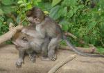 Wild lebende Affen auf Bali, Indonesien