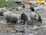 Halbwilde Schweine im Müll in einem Dorf in Westbengalen, Indien