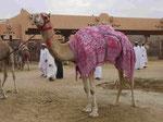 Rennkamel auf dem Kamelmarkt in Al Ain, Vereinigte Arabische Emirate