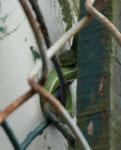 Hochgiftige Vipernart in Westbengalen