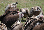 Geier im Massai Mara Nationalpark Kenia