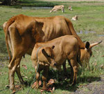 Rinder auf Guadeloupe