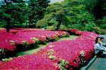 Azaleenbüssche im öffentlichen Teil des Kaiserpalastes, Tokyo, Japan