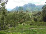 In den Teeplantagen im Hochland von Sri Lanka
