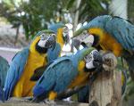 Papageien im Freihafen von Cartagena de Indias/Kolumbien