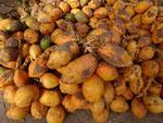 Frisch geerntete Kokosnüsse in Salalah, Sultanat Oman