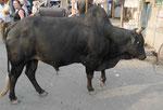 Bulle in einem Dorf in Westbengalen, Indien