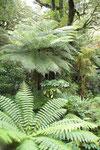 Farne aus der Südinsel, Neuseeland