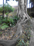 Wurzeln im Jardin Botanico von Puerto de la Cruz, Teneriffa