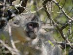 Grünmeerkatze im Kruger National Park, Südafrika