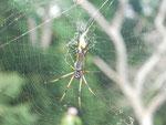 Spinne auf den Seychellen