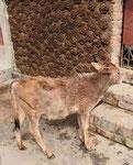 Kalb vor Kuhdungmauer in einem Dorf in Westbengalen, Indien