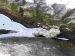 Wasserschlange am Gardasee