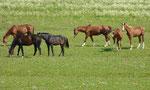 Pferdeherde im Alten Land an der Elbe