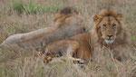Löwen im Massai Mara Nationalpark, Kenia