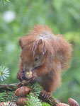 Eichhörnchen in Berlin-Lichtenrade