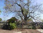 Uralter Bodhibaum(Erleuchtungsbaum-ficus religiosa)  im Tempel Lankathilaka, Sri Lanka