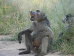Tschakma Pavian im Kruger National Park, Südafrika