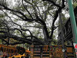 Der Bodhibaum am Platz von Buddhas Erleuchtung am Mahabodhi Tempel von Bodhgaya, Indien