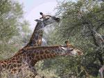 Giraffen im Kruger National Park, Südafrika