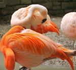 Flamingos  im Zoo Leipzig