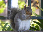 Eichhörnchen im Compagnie Park in Kapstadt, Südafrika