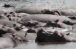 Flusspferde in Kenia