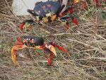 Krabben bei Cienfuego/ Kuba