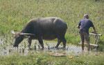 Wasserbüffel im Reisfeld nahe dem Li-Fluss, Volksrepublik China