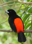 Cherrie´s Tanager, Costa Rica