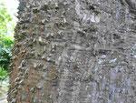 Tropischer Baum mit Dornen auf den Azoren