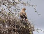 Adler in Kenia