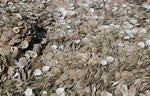 Muschelboden in Südvietnam nahe Phan Thiet