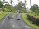 Halbwilde Schweinefamilien auf Samoa