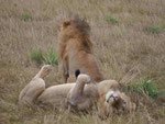 2 Löwenmännchen im Massai Mara Nationalpark, Kenia