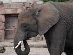 Afrikanischer Elefant, Tierpark Berlin