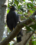 Mangrove Black Hawk, Costa Rica