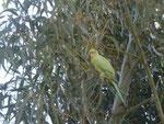Papagei vor seinem Nest im Süden von Teneriffa, Spanien