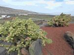 Blick aus dem Jardin de Cactus, Lanzarote
