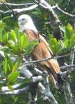 Langkawi -Adler, Malaysia
