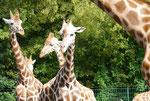 Giraffen im Tierpark Berlin