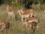 Impalas im Kruger National Park, Südafrika