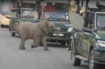 Elefant im Kruger National Park, Südafrika