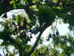 Flughunde im Affenwald auf Bali