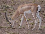 Impala Antilope in Kenia