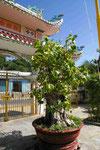 Bodhibaum in einem Tempel bei Pan Thiet, Südvietnam
