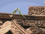 Sittiche auf der Ruine der Qutub Minar in Delhi, Indien